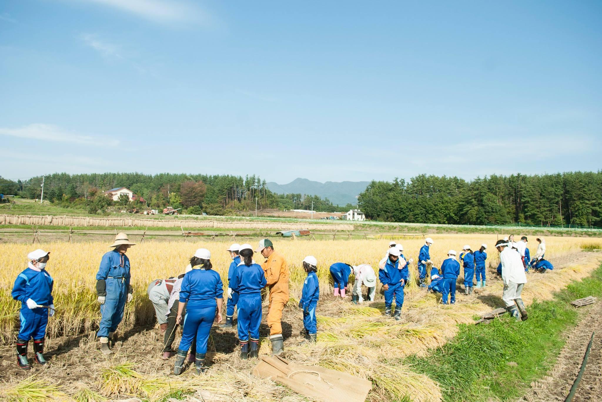 地元小学校の稲刈りを行いました